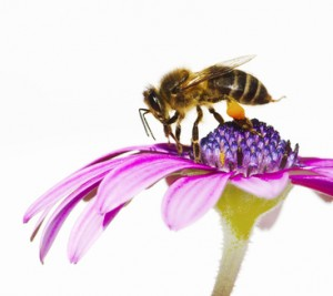 abeja en la flor en en primavera
